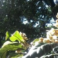 As flores perfumadas da Ameixeira